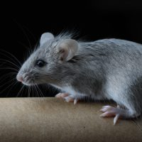 Mouse Meningitis What You Need to Know